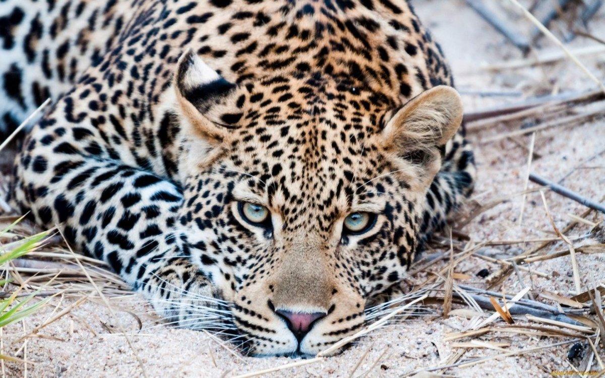 Картинки животных леопарды