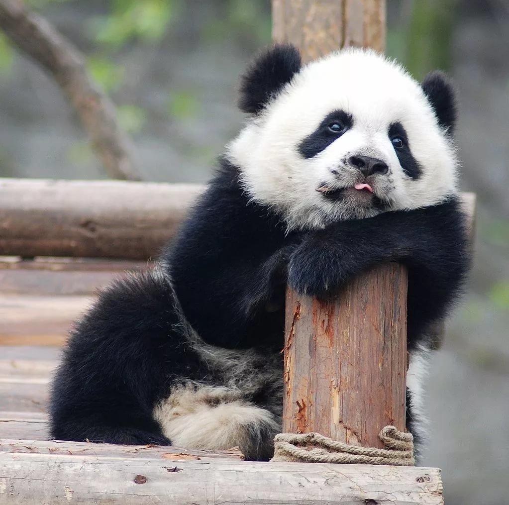 Вечер ночь, панды картинки смешные