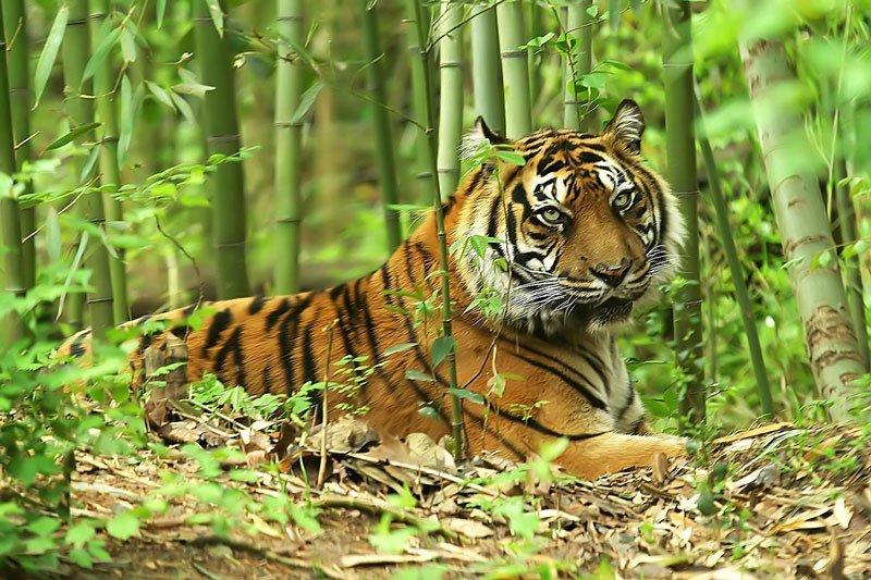 только картинки тигр в джунгли некачественного бензина меня