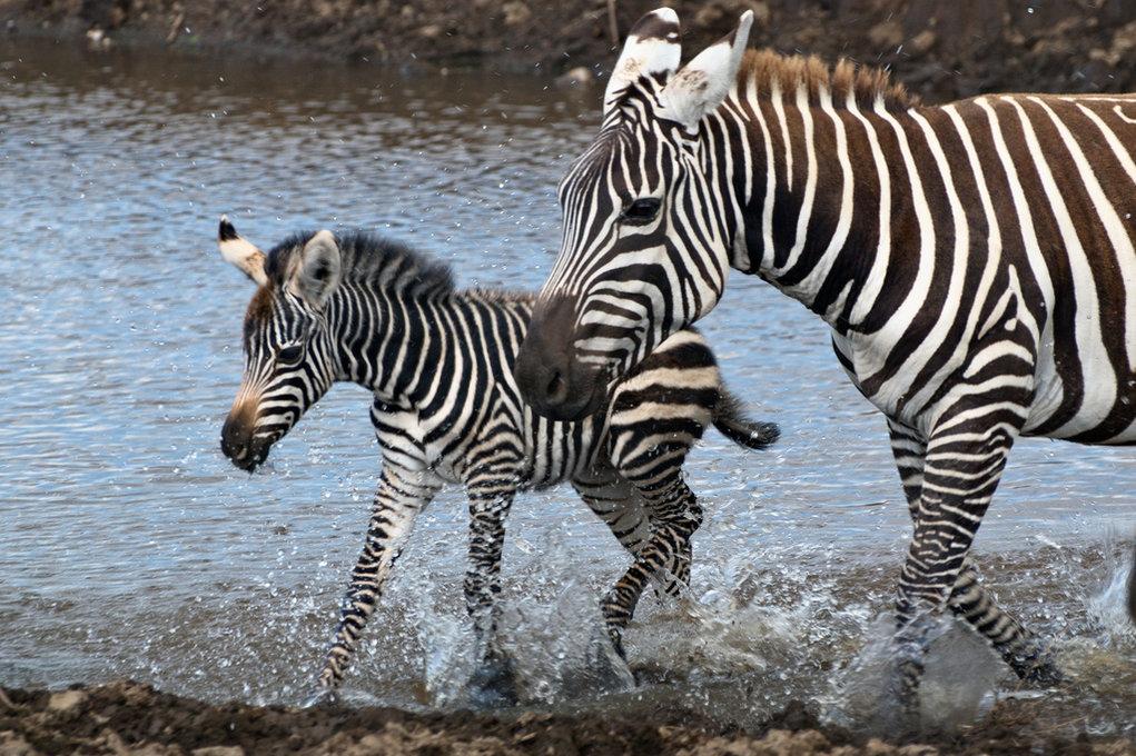 покажи картинки зебры как ее любить а не говори расположен центре страны