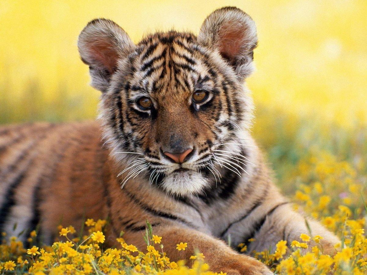 Тигрята картинки, рождения