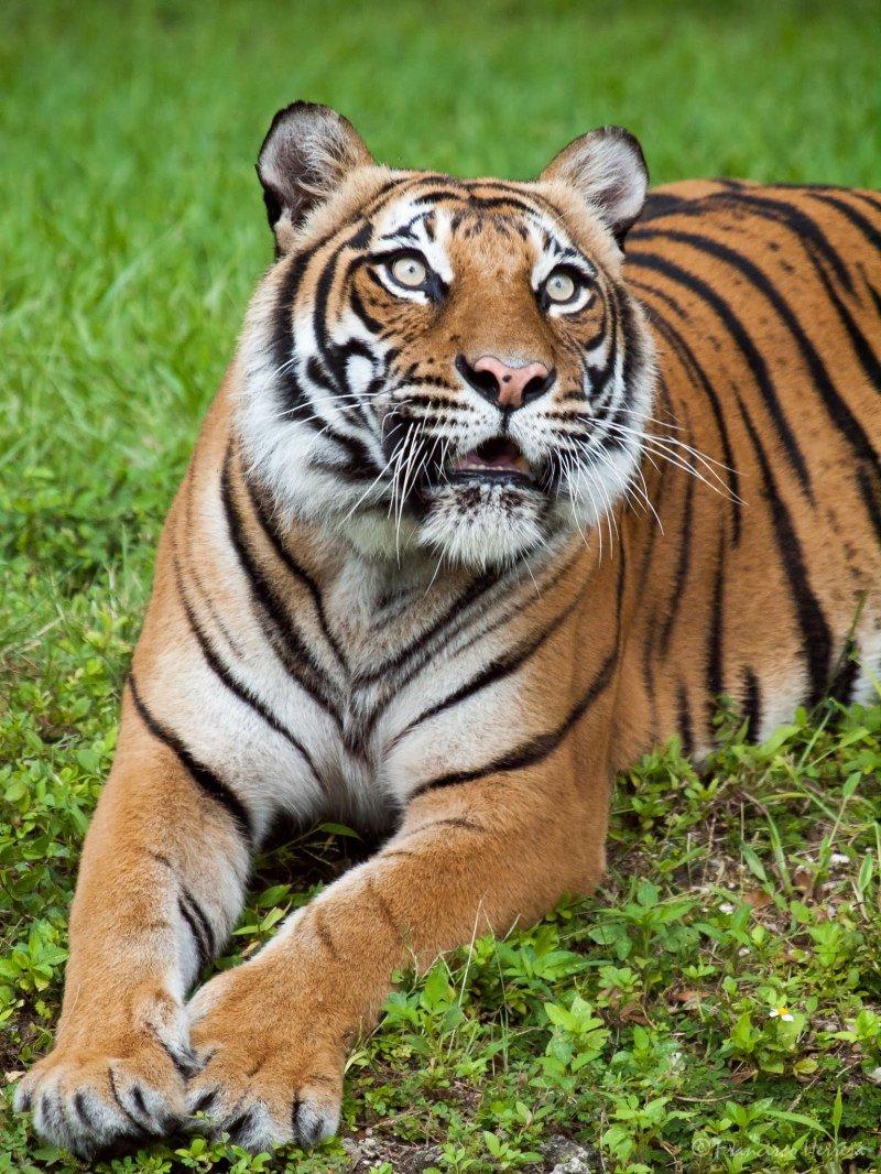 Красавец тигр.