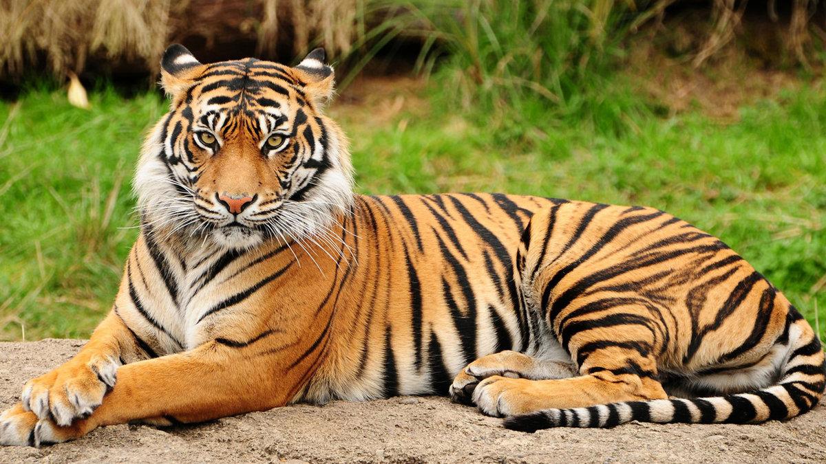 Тигр на земле лежит