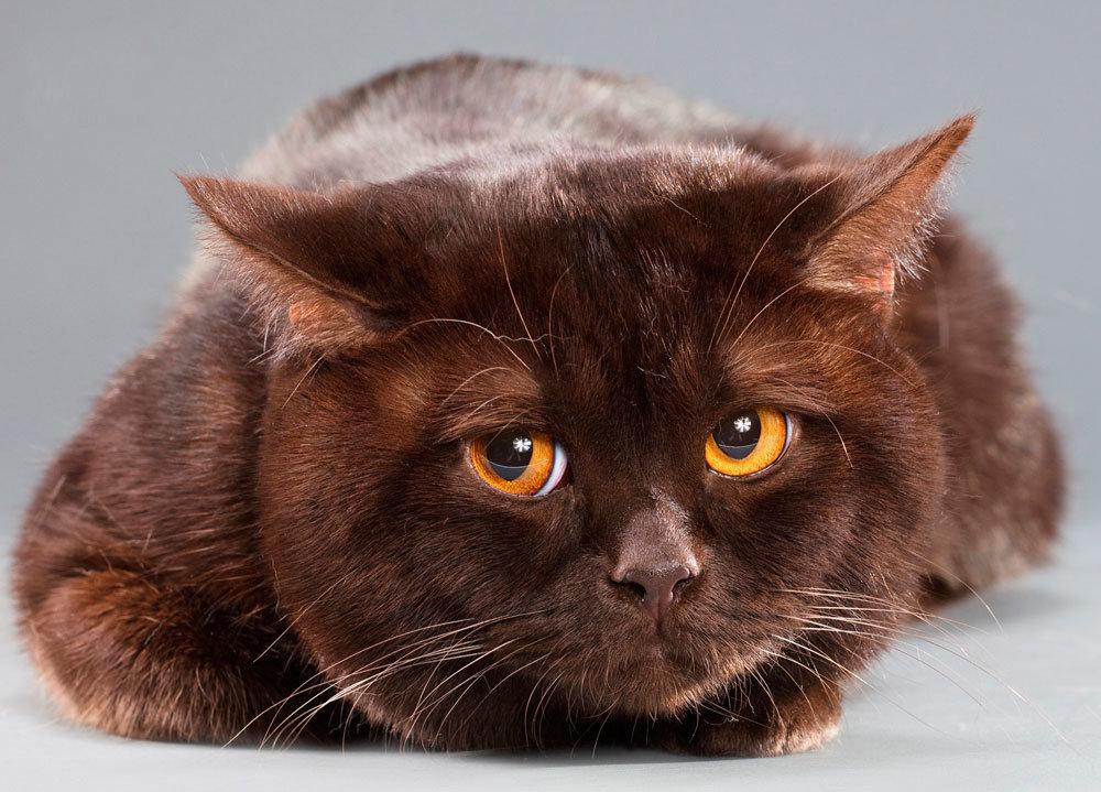 британец кот шоколадный картинки трамп избранный