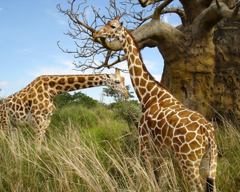 Самцы жирафа достигают высоты до 5,5—6,1 м (около 1/3 длины составляет шея) и весят до 900—1200 кг.