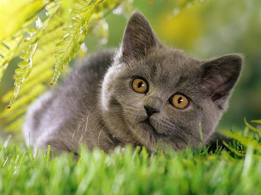 Картинки британские котята