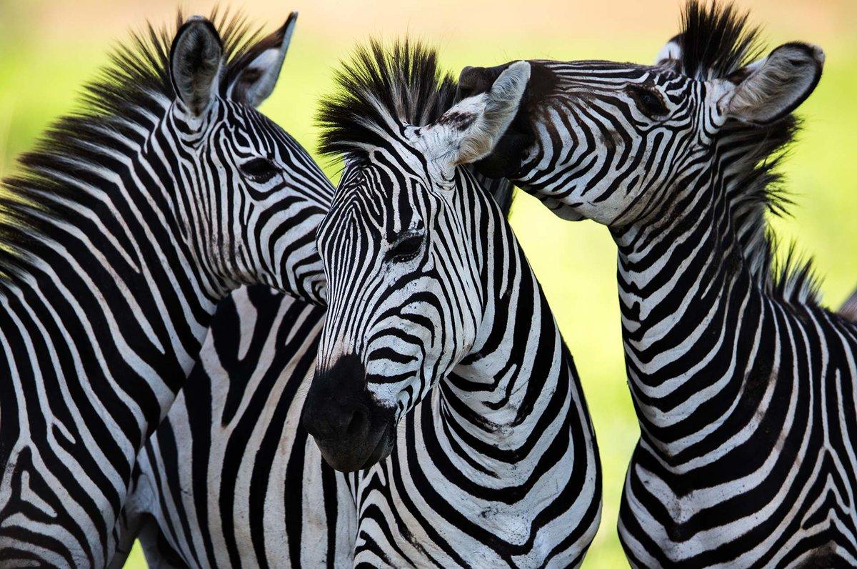 Три зебры.