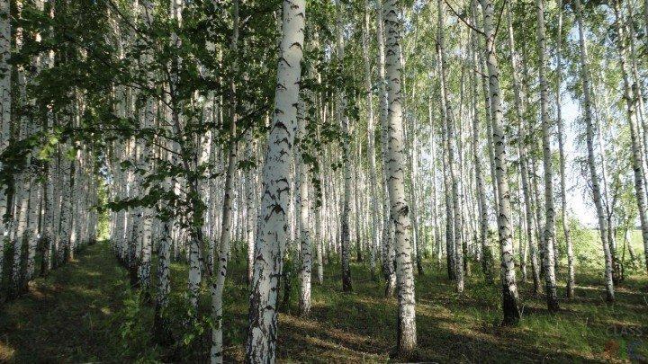 Берёзовый лес летом.