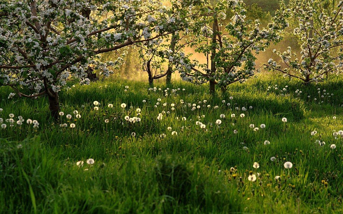 Обои  поле трава одуванчики природа небо деревья