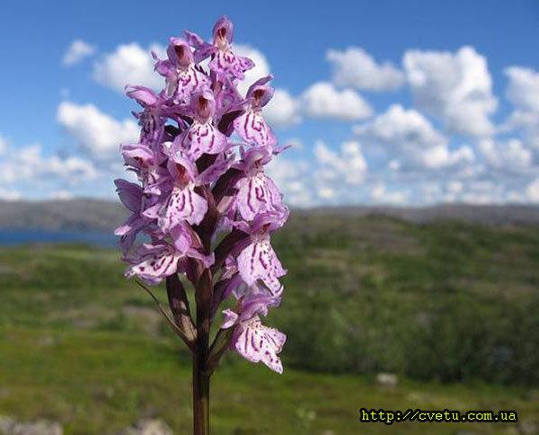Растение ива: фото и описание разновидностей 60