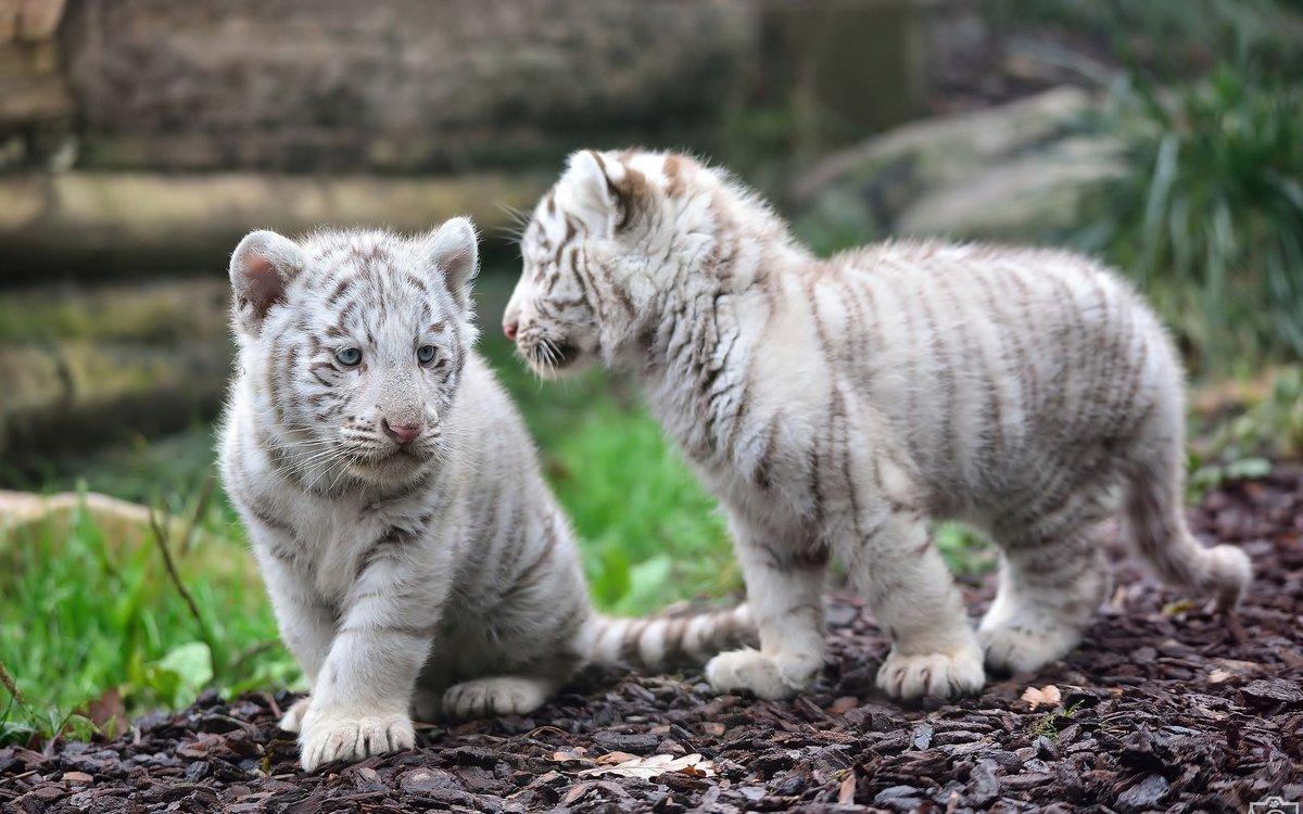 baby white tiger - 760×427