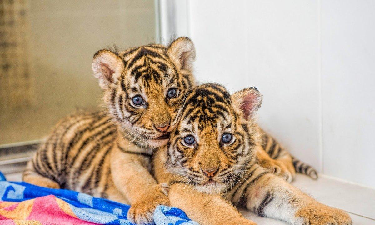 Картинки с тигрятами смешные