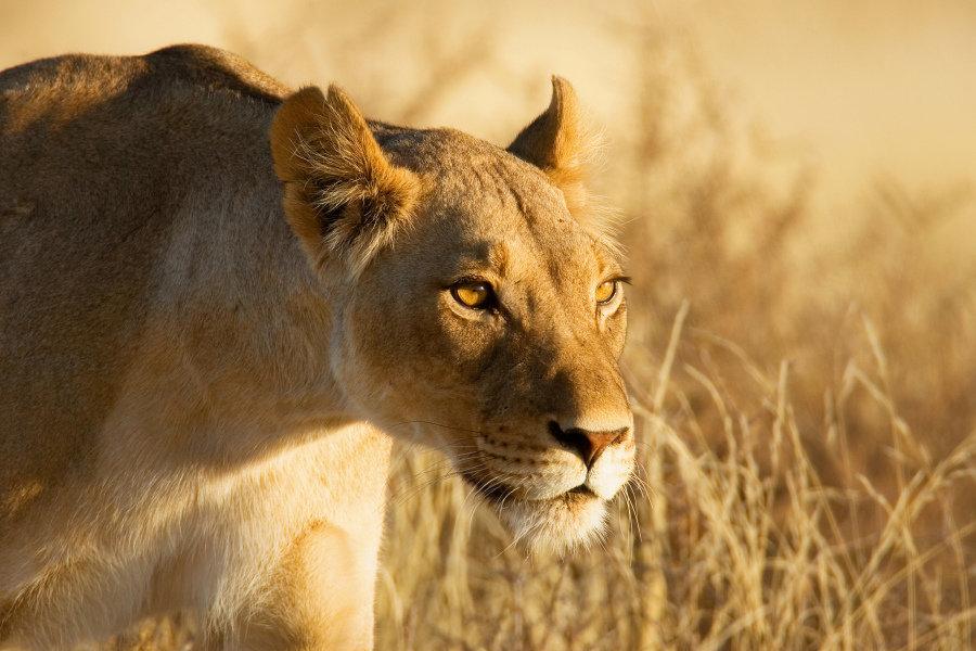 Спят львы в Ð½ÐµÐ±Ð¾Ð»ÑŒÑˆÐ¸Ñ Ð¾ÑÑ'Ñ€Ð¾Ð²ÐºÐ°Ñ Ñ'ени или в прогретой солнцем траве по 20 часов в сутки.