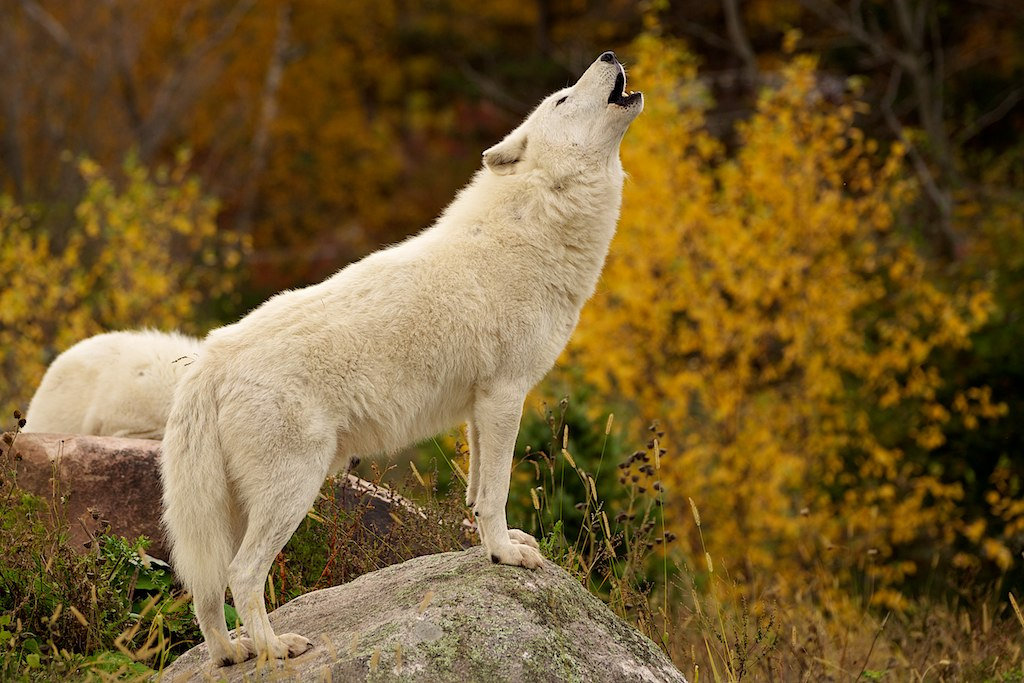 Картинки белый волк