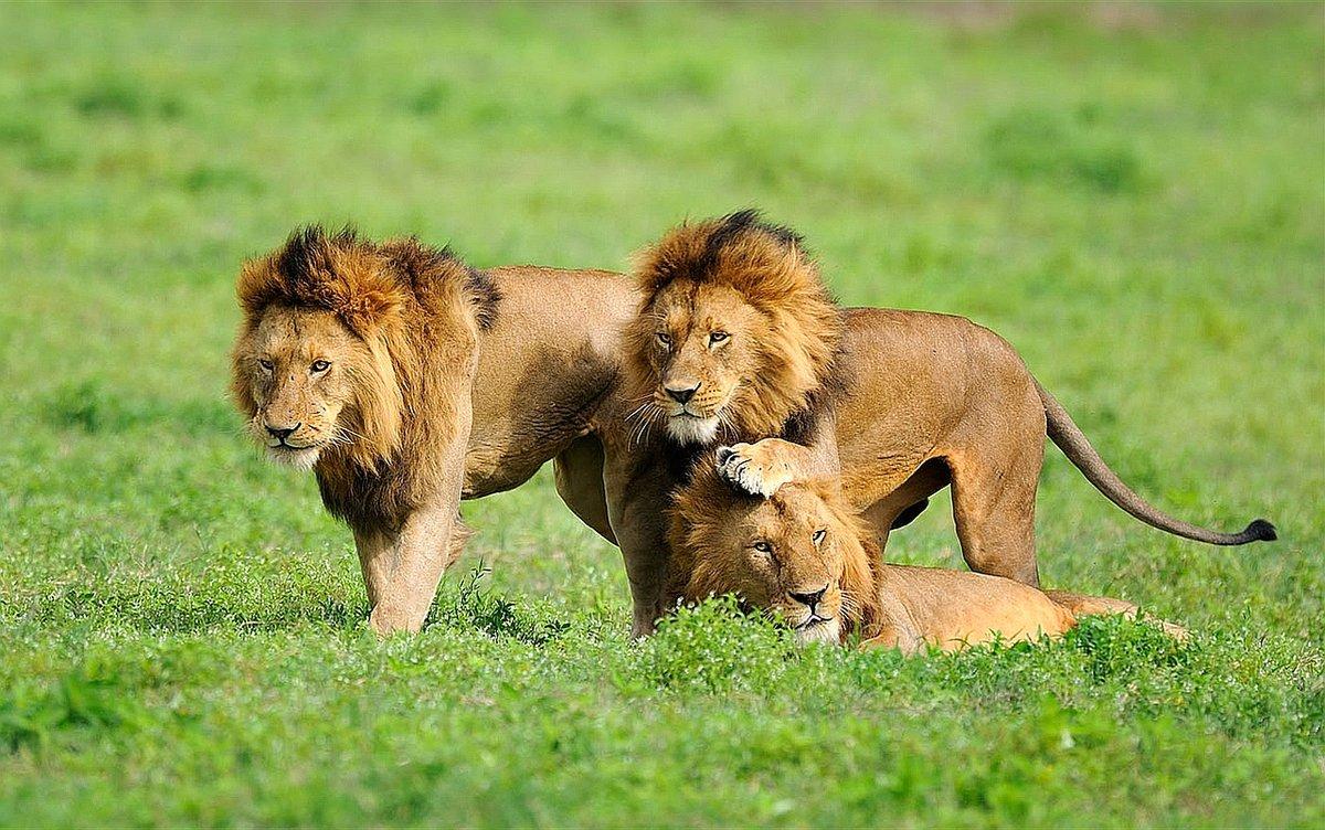 львы фото и описание это морские суда