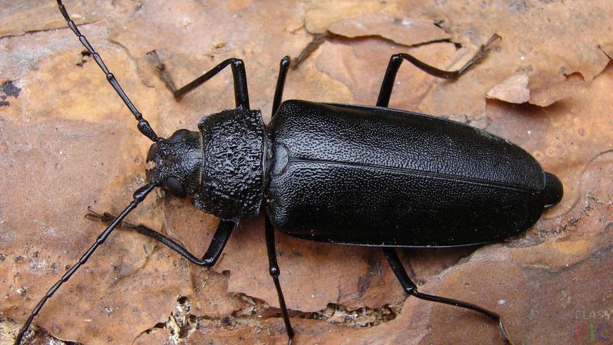 Названия черных жуков с картинками