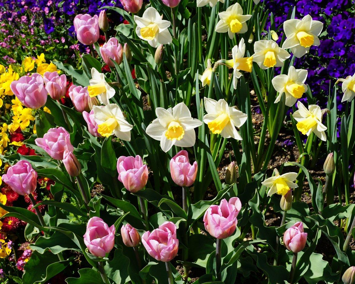 Картинки тюльпаны нарциссы