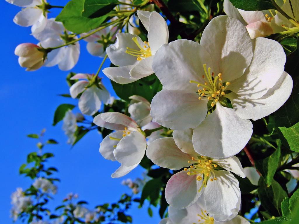 Открытки с цветущей яблоней весной