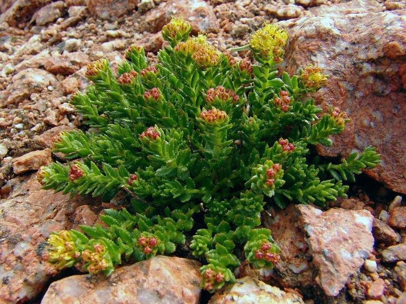 Красная щетка фото растения