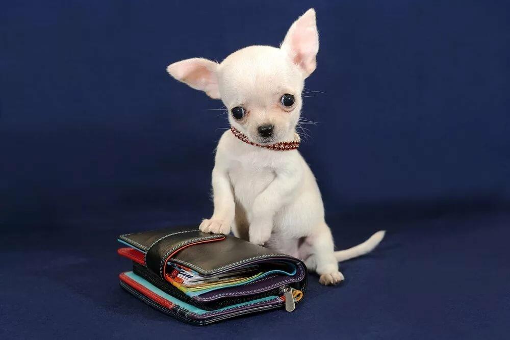 картинки собака самых маленьких в мире собак ребят