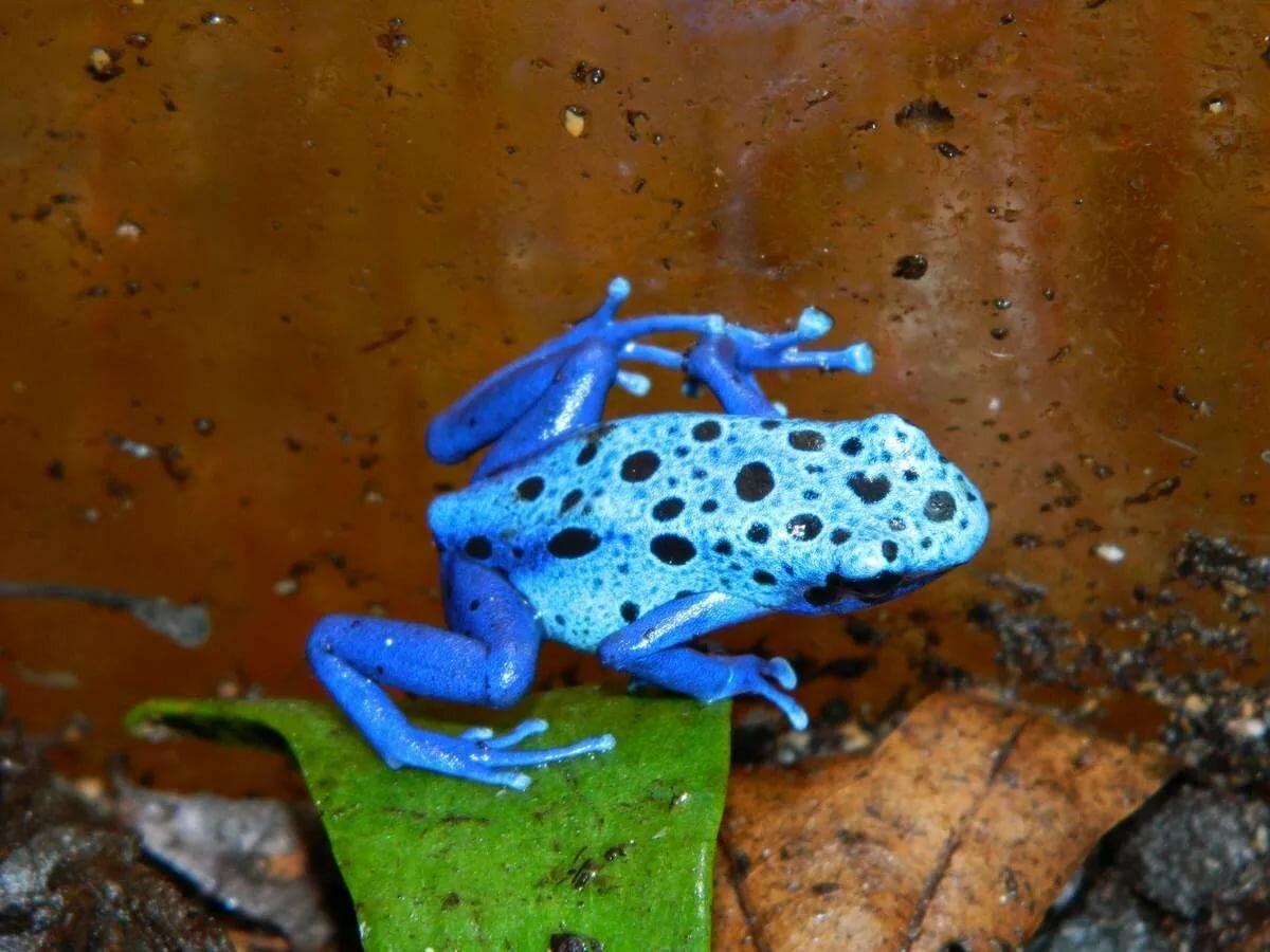 картинки голубых лягушек стен алюминиевыми