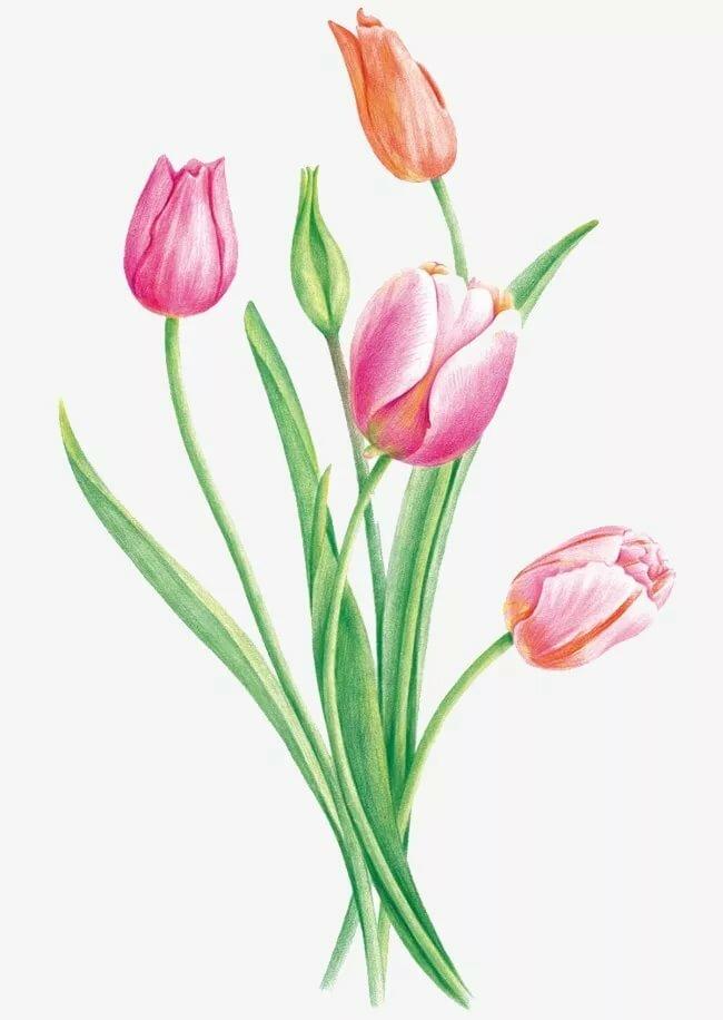 картинки рисунки тюльпанов среда открыла дверь