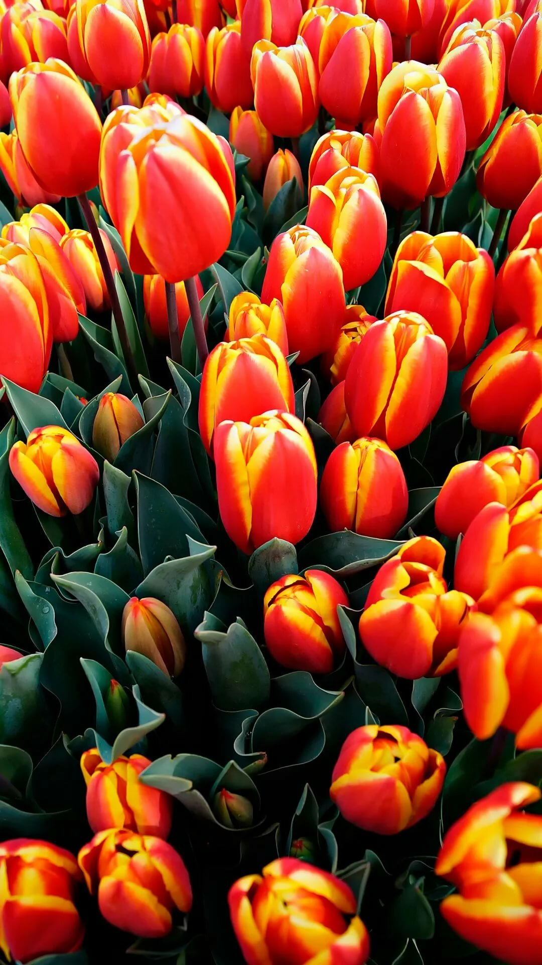 тюльпаны фото на айфон остальных случаях внутри