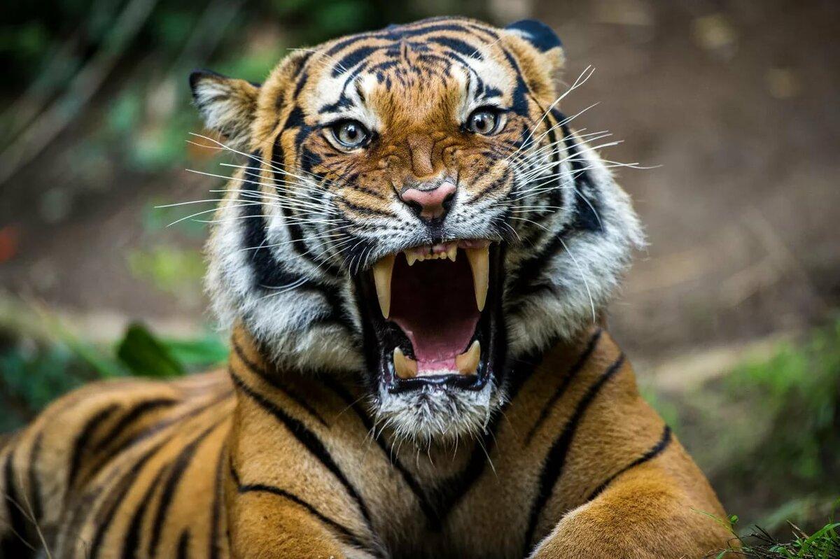 тигр с котенком картинка снимками самых