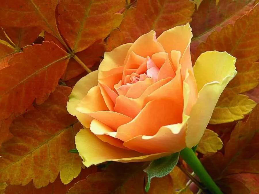 Розы и листья на открытках, объемные своими руками