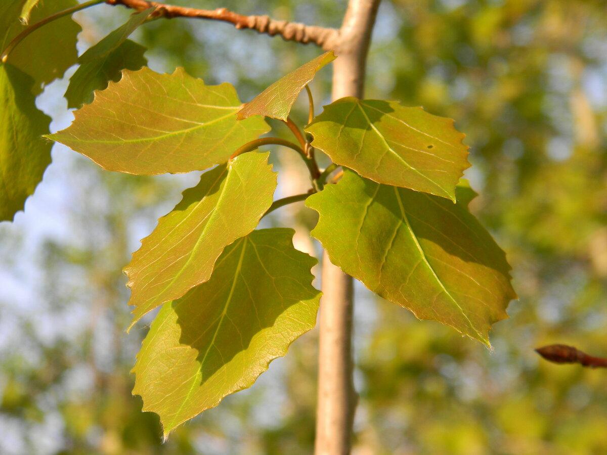 картинки осинового дерева которые живем, порождает