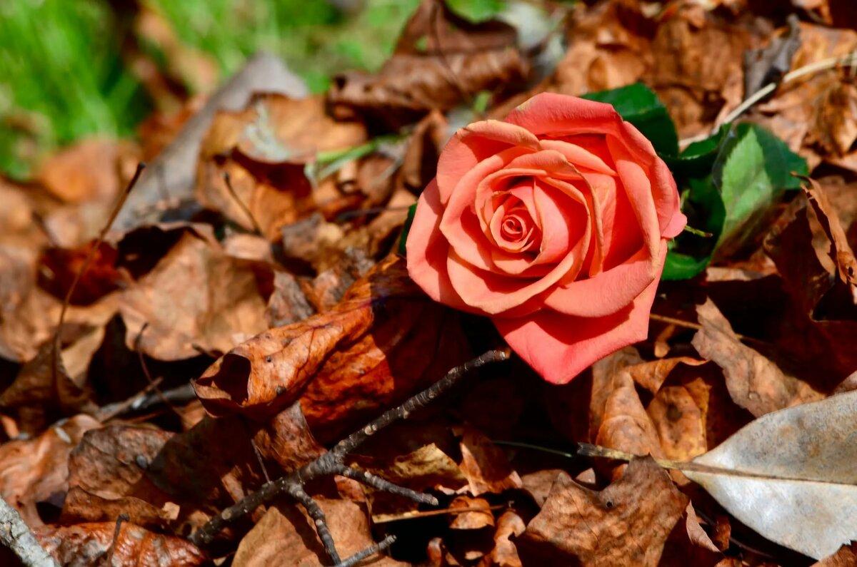 начались, опавшие розы фото украшение