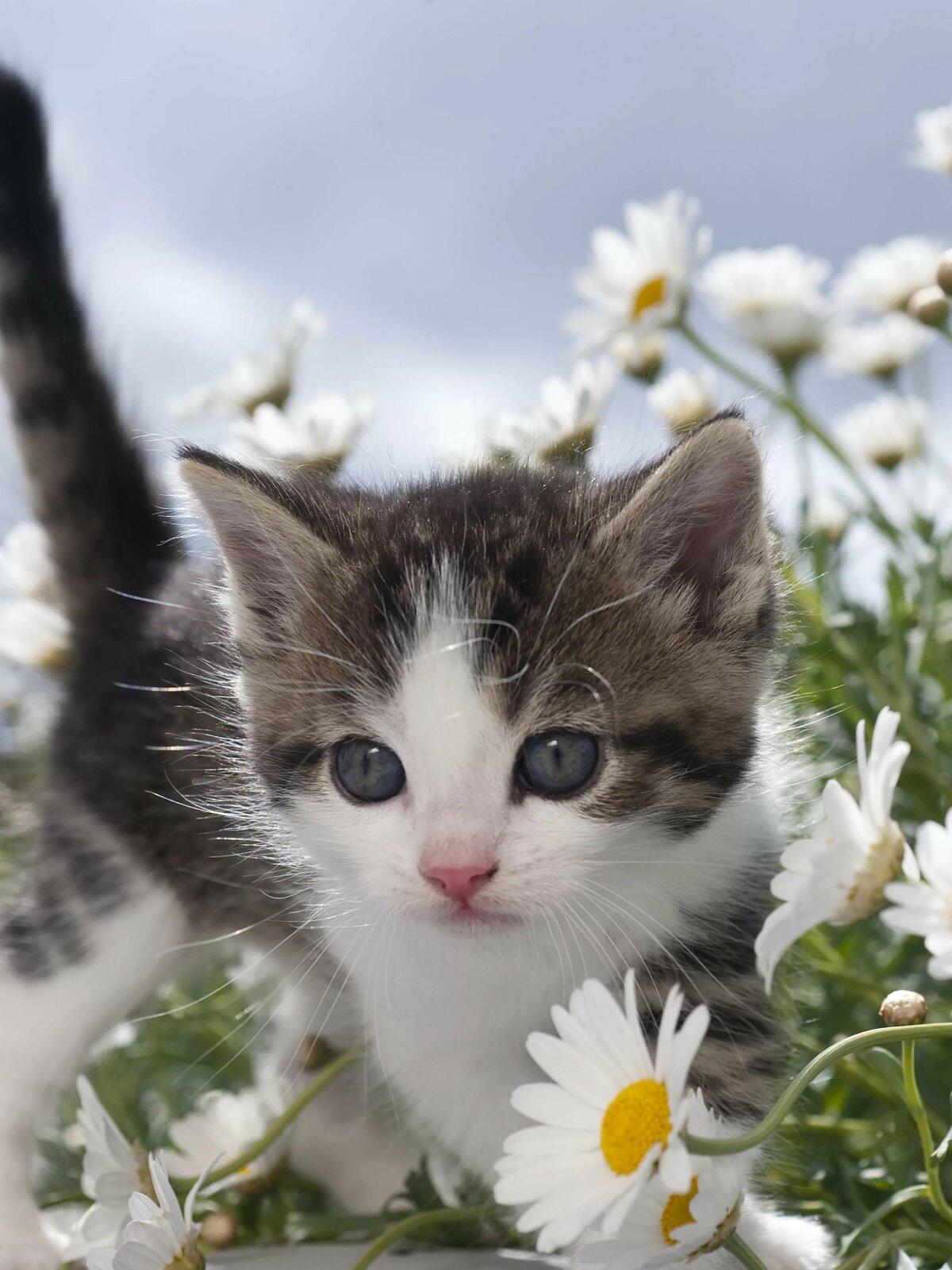 Красивые фото котят с ромашками