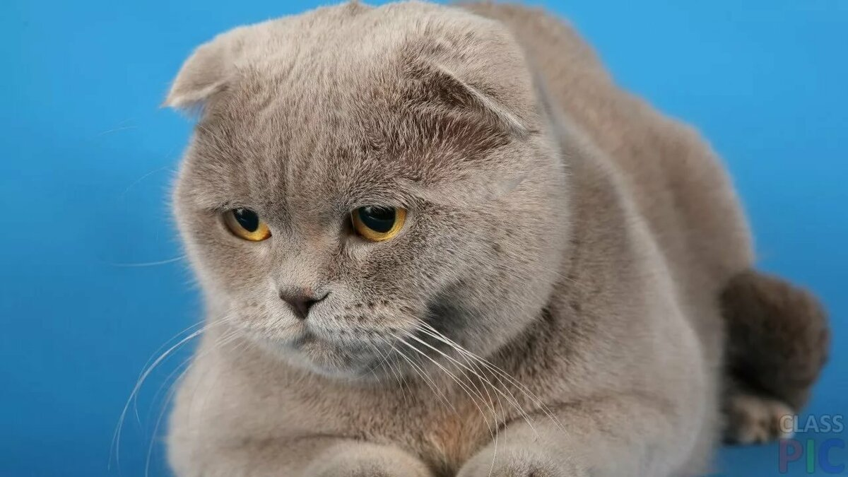 картинки кошек шотланские своих