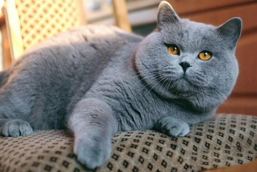 фото кота британца серого нас