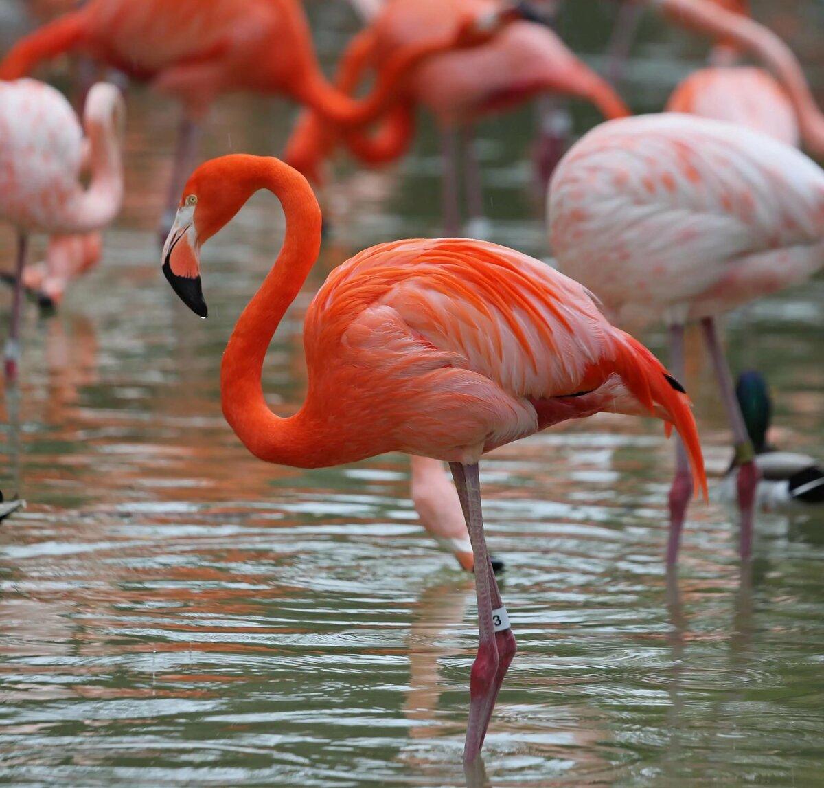 фото- картинки с розовыми фламинго учёными люди утверждают