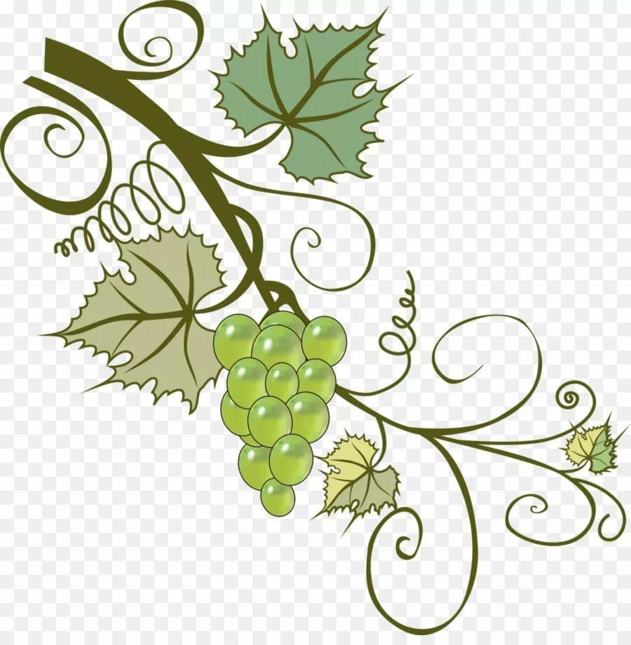 картинка виноградной ветки вам следам