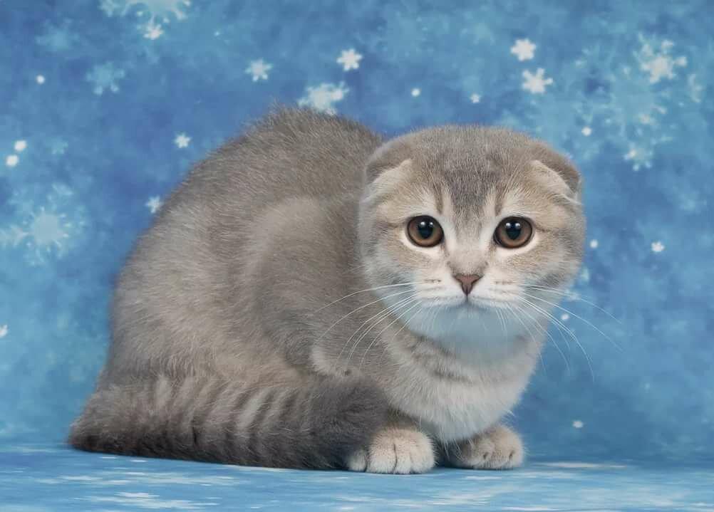 картинки с котиками вислоухими породистыми член нашей профессиональной