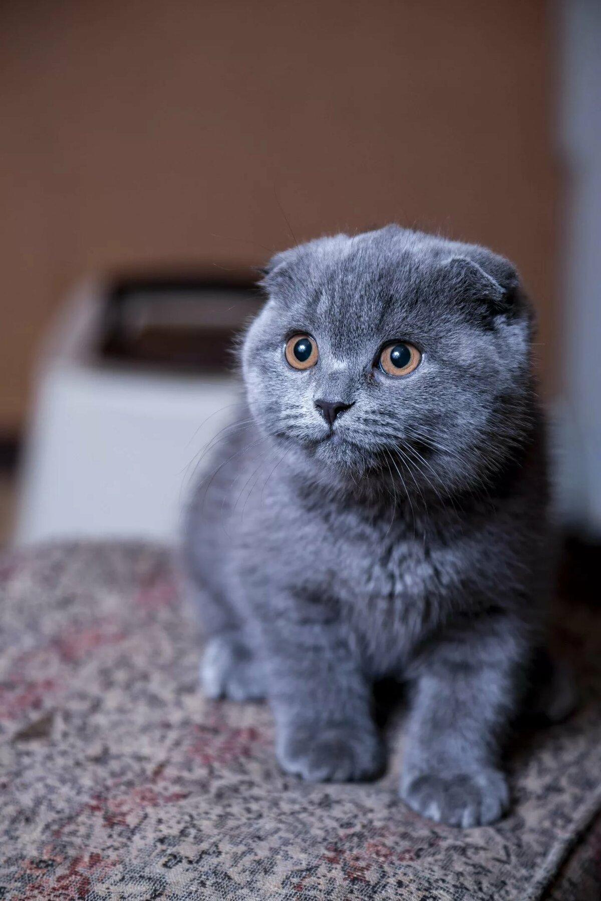 картинки реальные вислоухие коты том