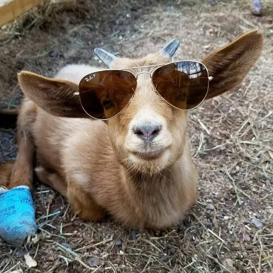 Надписью алина, картинки про коз смешные