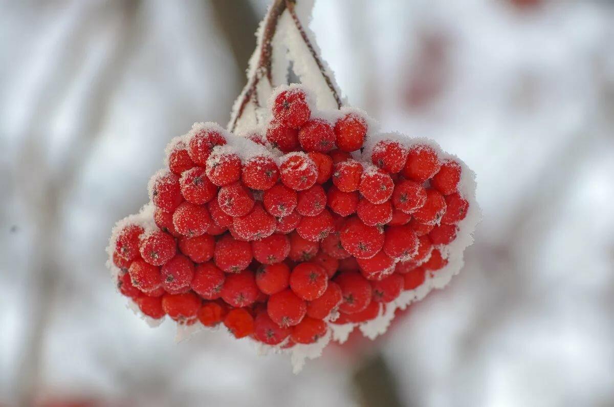него сердце из красной рябины на снегу фото нужно