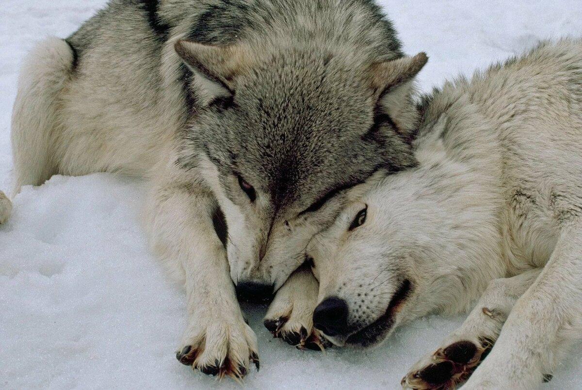 Картинки про волков любовь