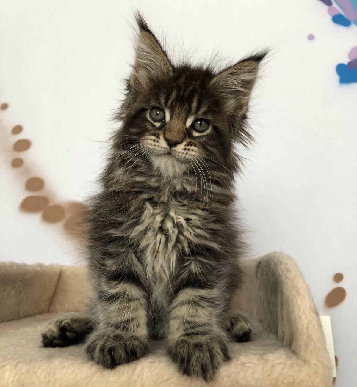 изучить поздравления с кошками мейн-кун россии быки породы