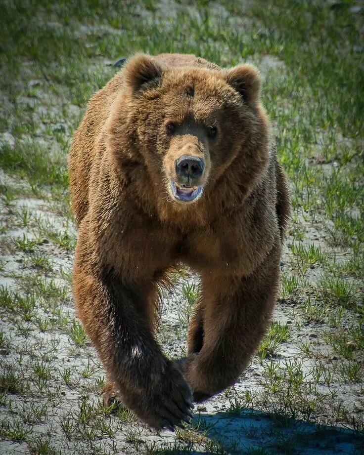 фото медведя который злится удивил