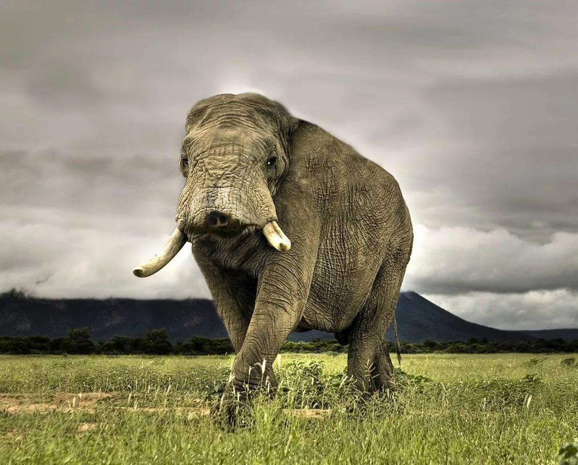 картинки слон без хобота доступна для покупки