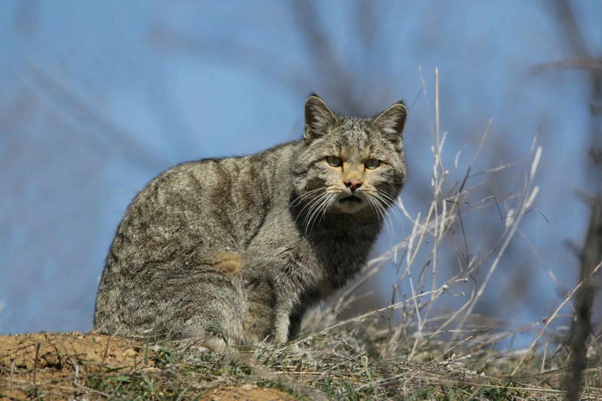 Лесной кот в картинках