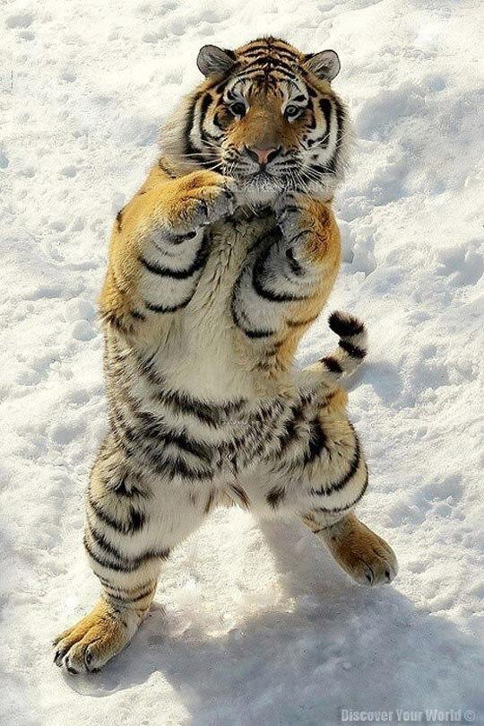 Открытке, тигрица смешно картинки