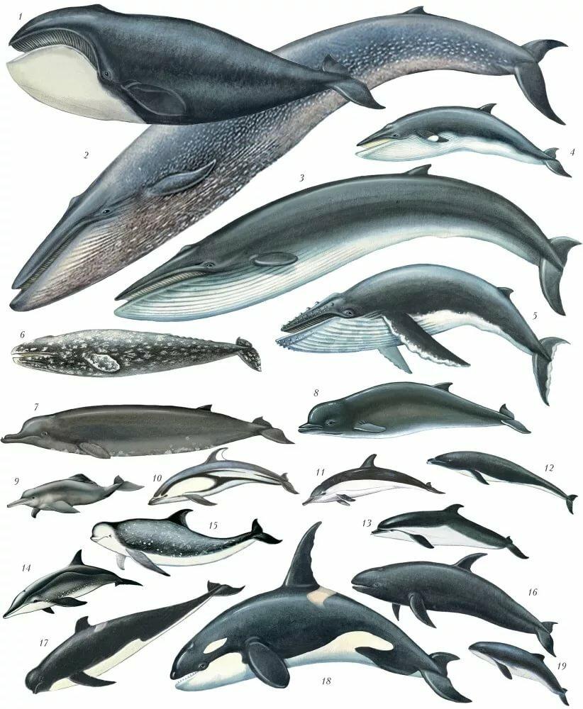 все виды китообразных картинки