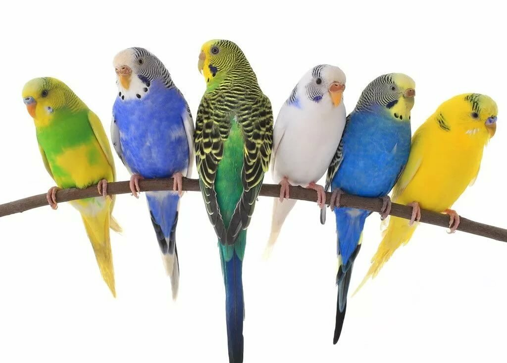 Картинка попугай для детей много