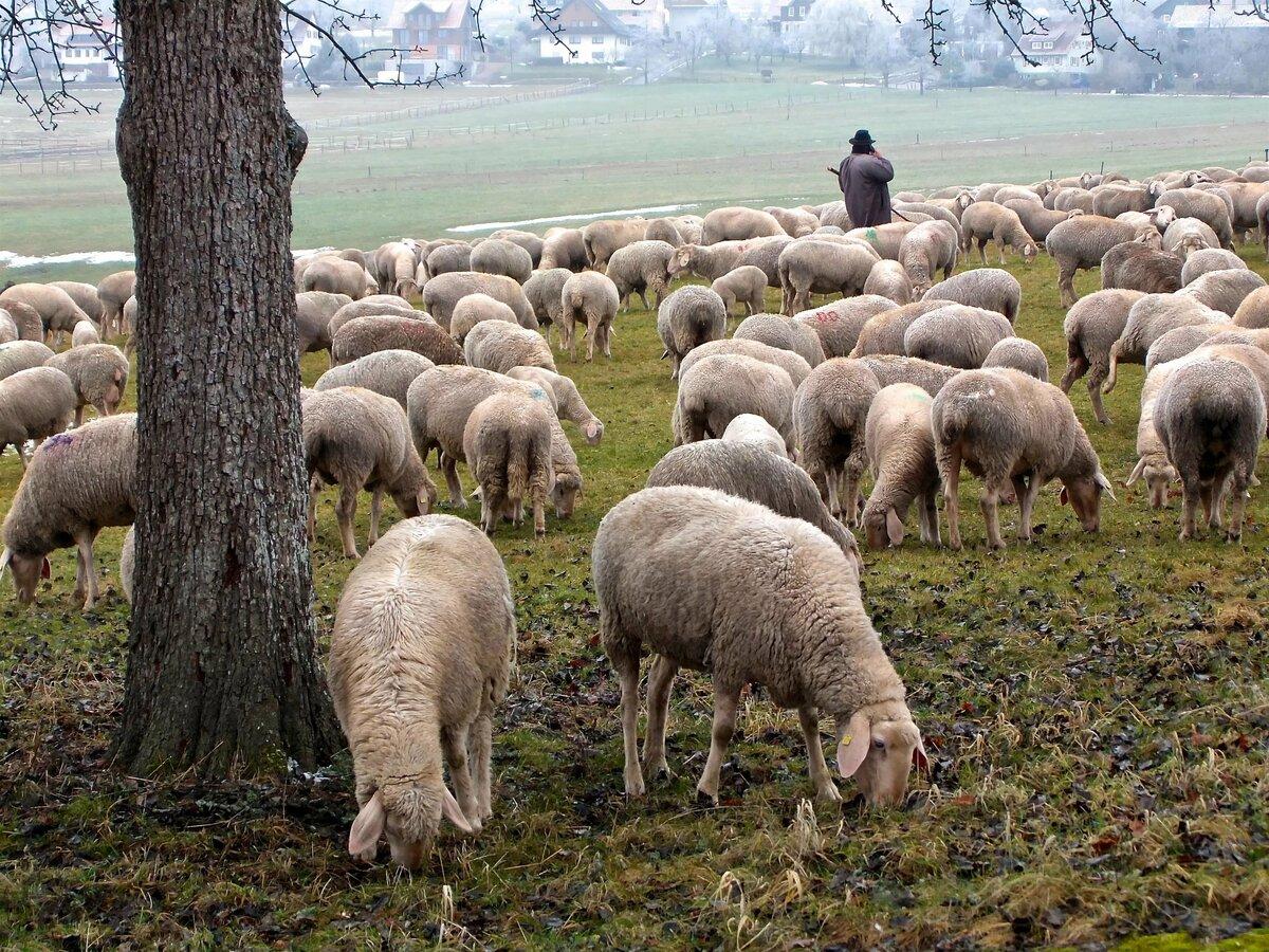 Открыток детьми, картинки овец стадо