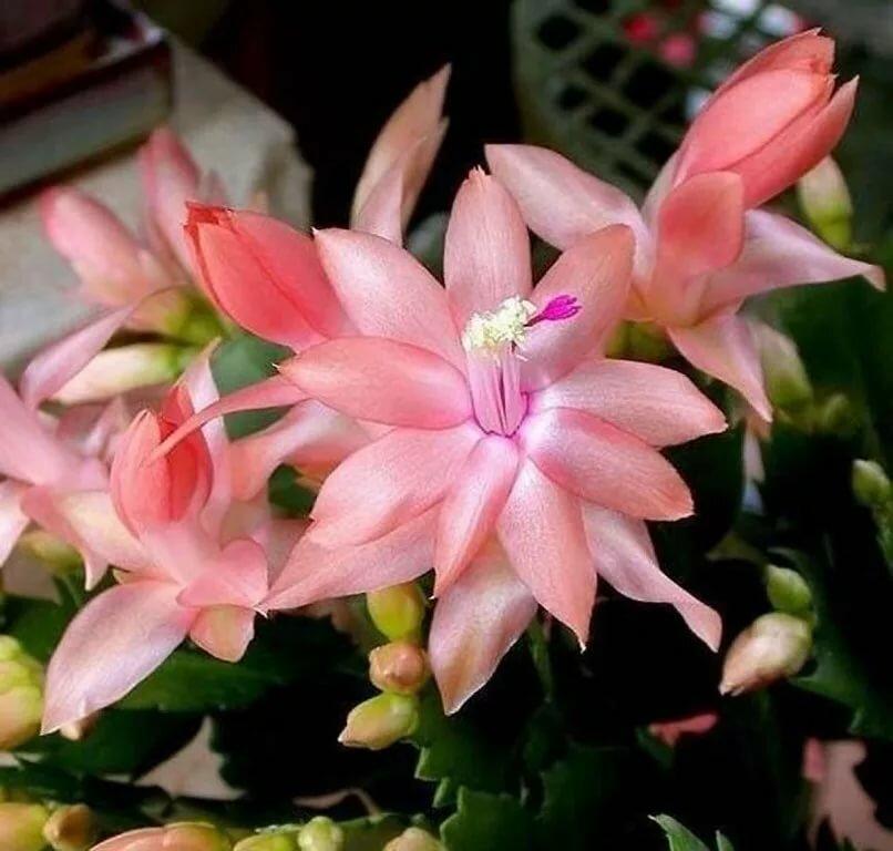 семьи числе, декабрист цветок сорта фото каталоге представлен большой